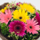 Exclusive Gerbera Bouquet 04